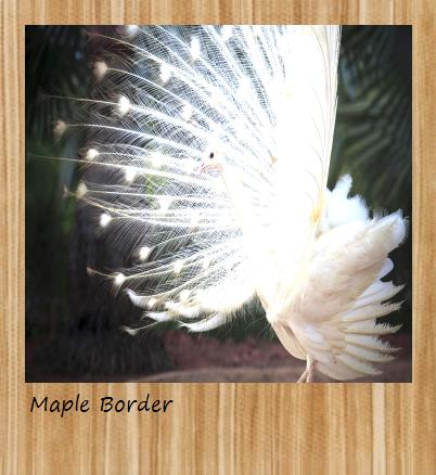 Maple Polaroid border